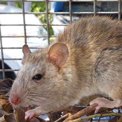 Rat Extermination