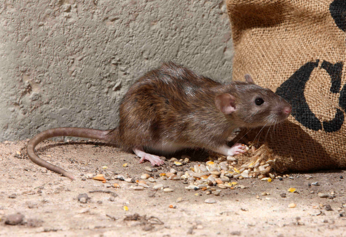 get rid of rats in the walls