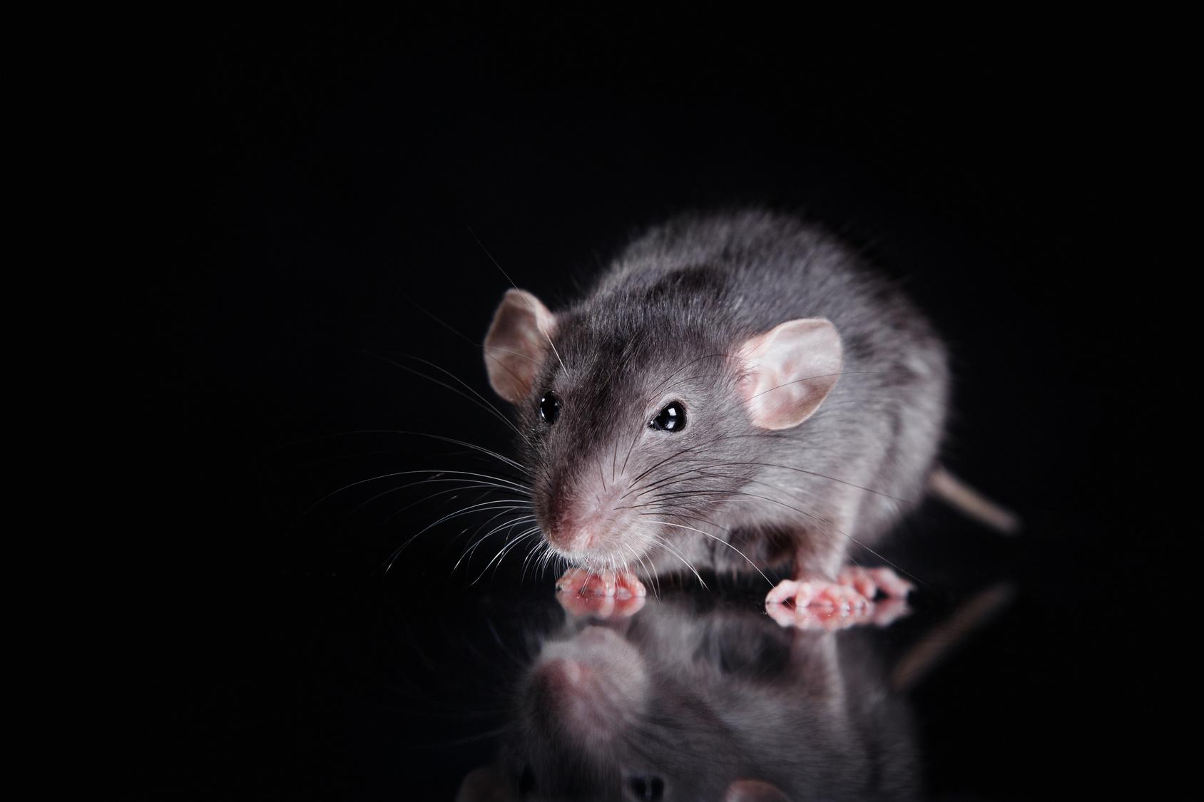 rat nuisance