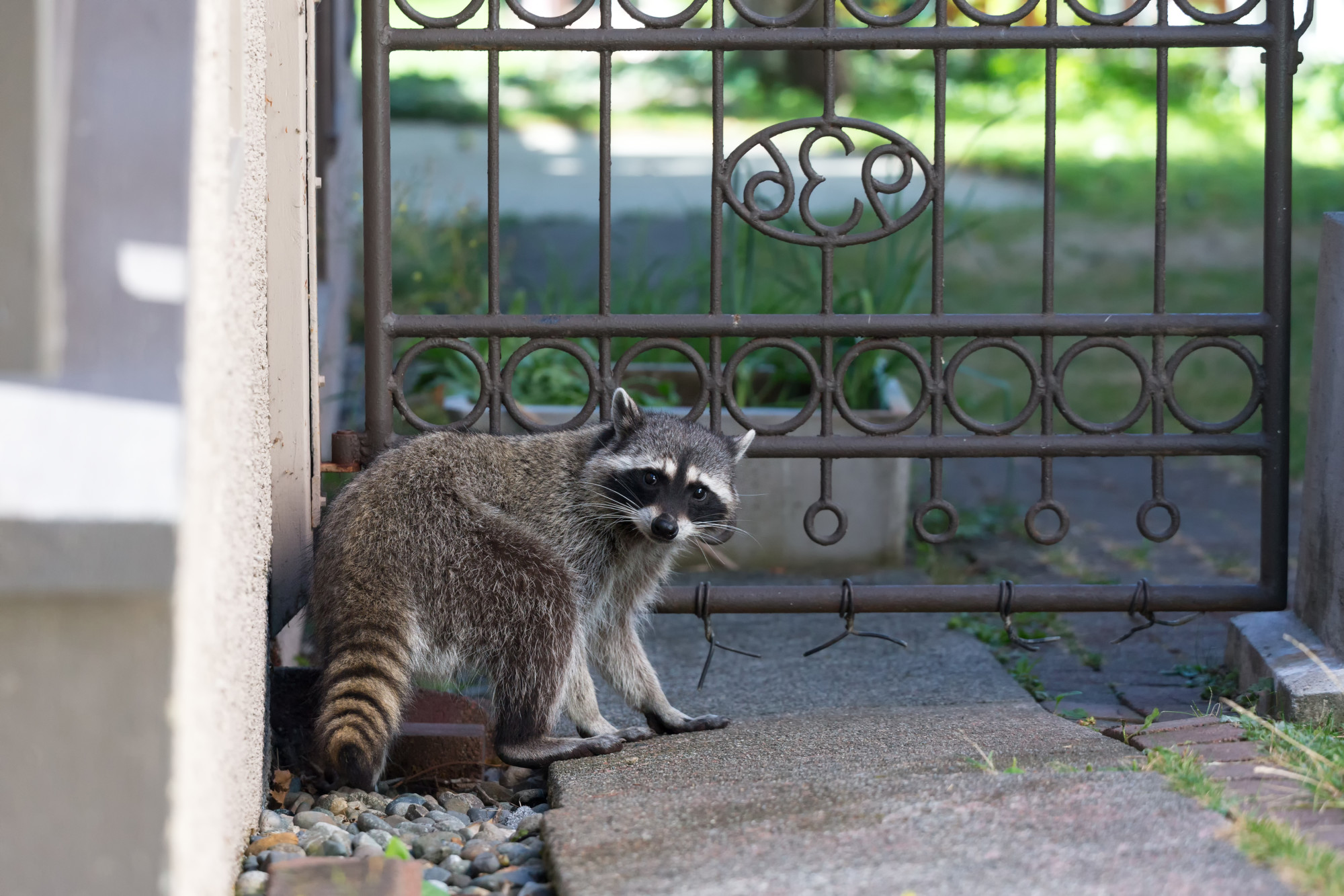 raccoon in a house