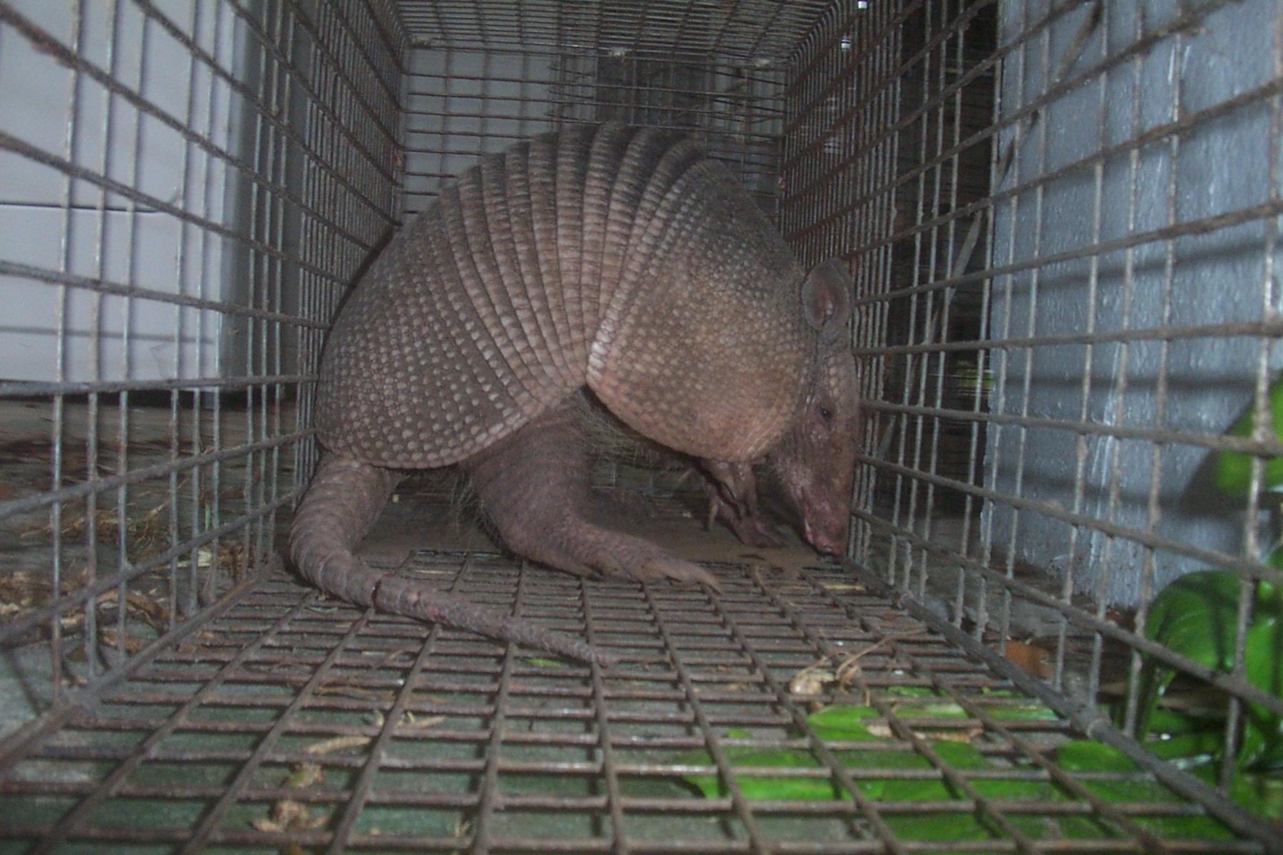 trapping armadillo